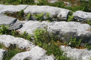 Flowers growing in Burren rock cracks